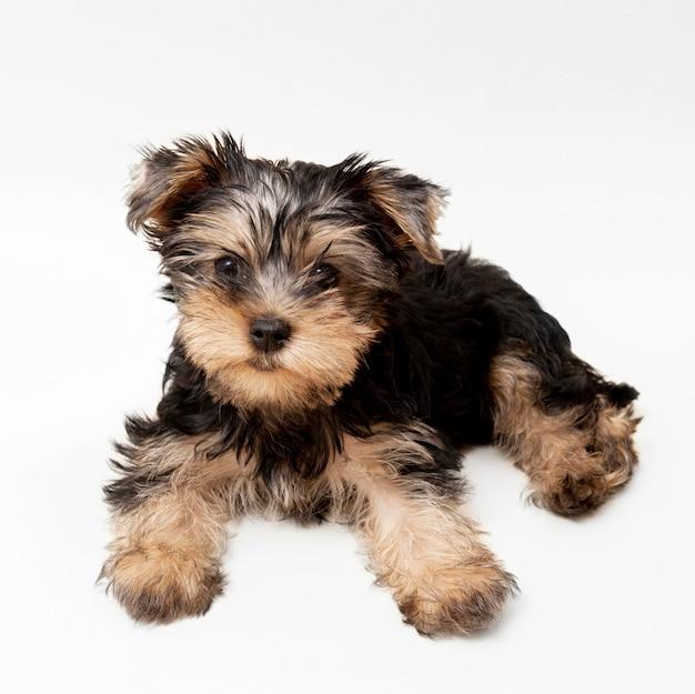 Vue de face de l'adorable yorkshire terrier