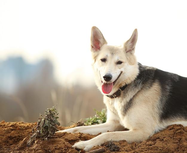 Vue de face au chien husky marchant sur un pré vert à côté. arbres verts et fond d'herbe.