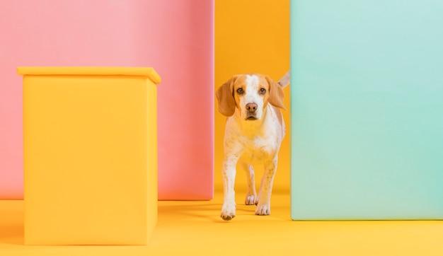 Vue de face beagle mignon
