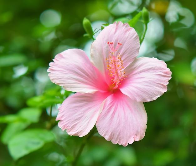 Vue de face de la belle fleur d'hibiscus