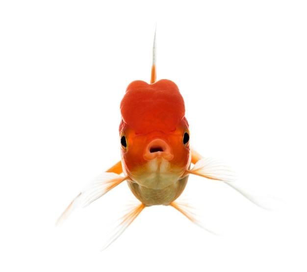 Vue de face d'une bouche d'ouverture de poisson rouge tête de lion isolated on white