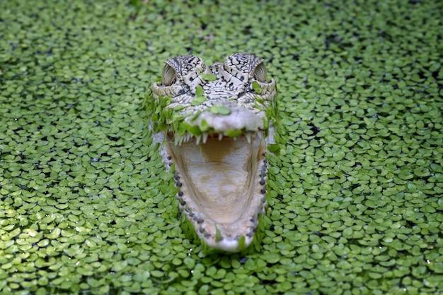 Vue de face des crocodiles crocodiles d'eau salée parmi les algues d'eau