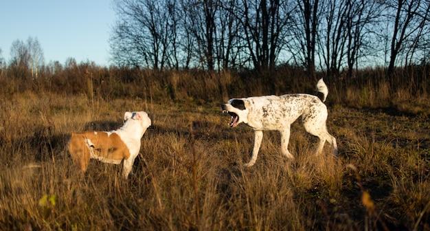 Vue de face à deux chiens heureux charismatiques marchant au champ d'automne au crépuscule