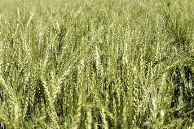 Vue de face du champ de blé