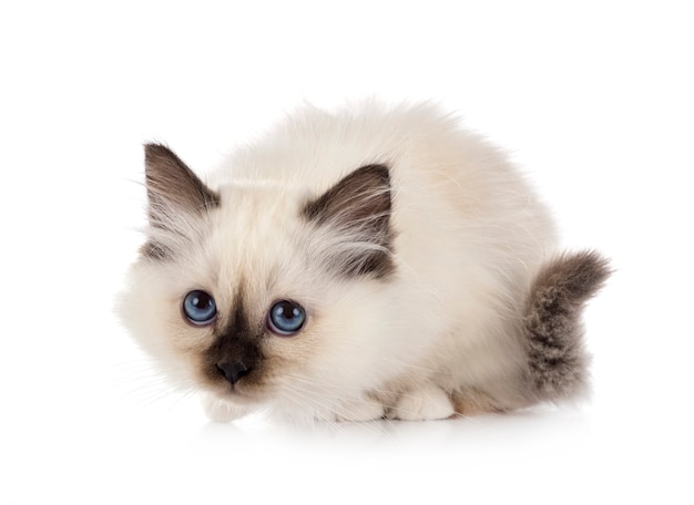 Vue de face du mignon chaton birman