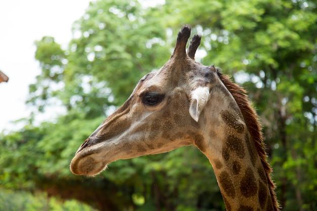 Vue de face d'une girafe