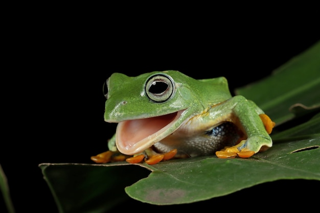 Vue de face de grenouille d'arbre de java sur la feuille verte