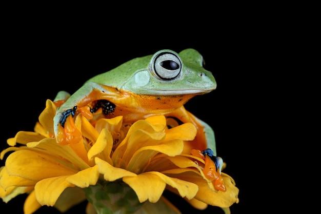 Vue de face de grenouille d'arbre de java sur la fleur jaune