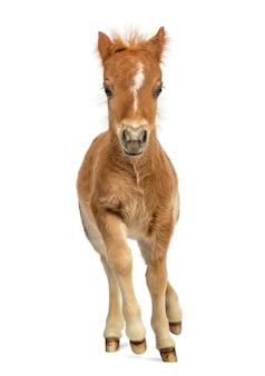 Vue de face d'un jeune poney, poulain au trot sur fond blanc