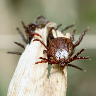 Vue de face macro d'un acarien femelle parmi un groupe d'autres tiques sur un brin d'herbe sèche