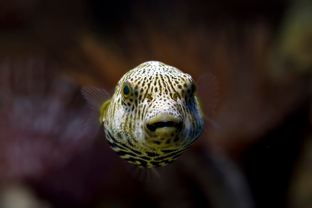 Vue de face de poisson-globe visage gros plan, joli visage de poisson-globe