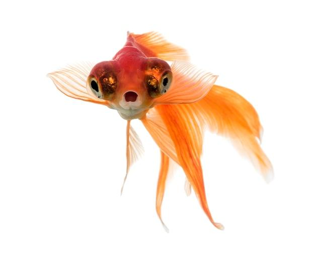 Vue de face d'un poisson rouge dans l'eau, islolated sur blanc