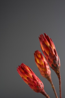 Vue de face de la protea séchée avec copie espace