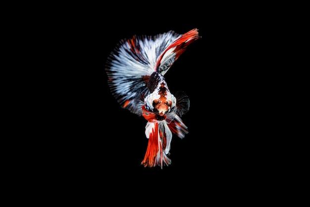 Vue de face, visage de beautiful betta splendens rouge, bleu et blanc, les siamois combattant les poissons populaires dans le commerce des aquariums. le nom bien connu est plakat thai. isolé sur fond noir