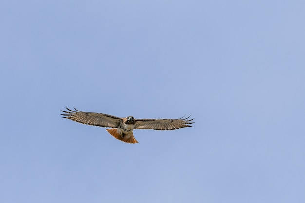 Vue fascinante de l'oiseau faucon volant dans le ciel bleu