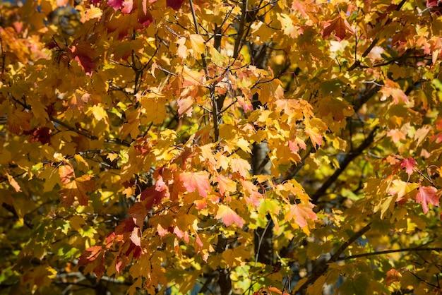 Vue des feuilles d'érable