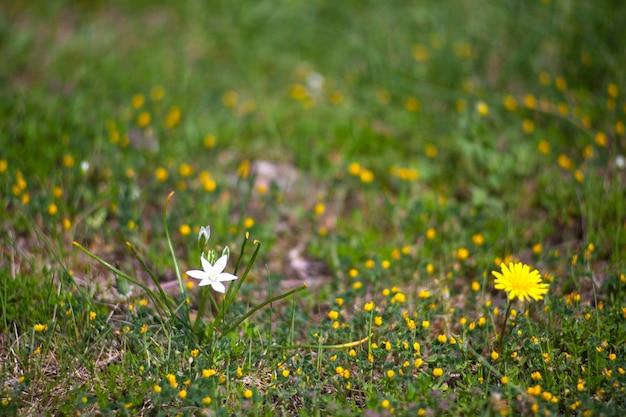 Vue de la fleur de pissenlit