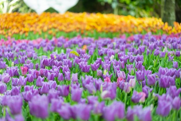 Vue de fleur de tulib coloré au printemps.