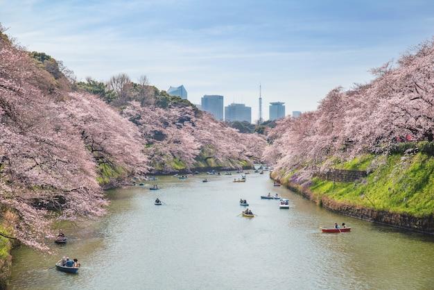 Vue d'une floraison massive de cerisiers à tokyo, au japon, à chidorigafuchi