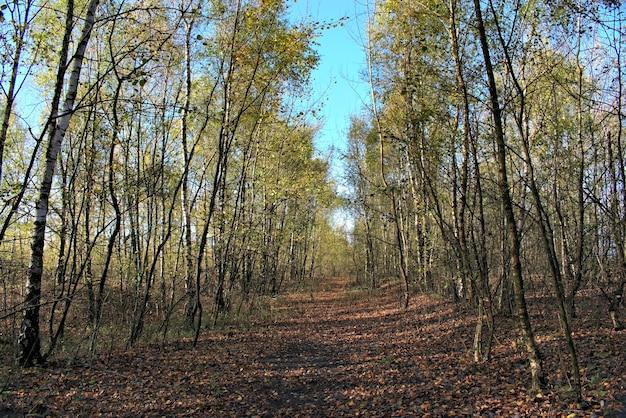 Vue de la forêt de bouleaux d'automne avec chemin.