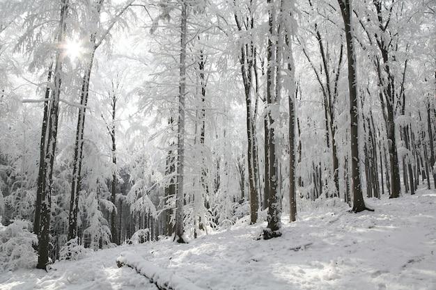 Vue de la forêt de hêtres d'hiver sur un matin glacial ensoleillé