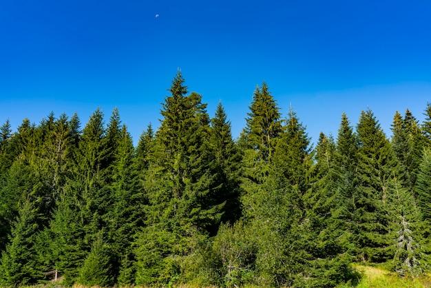 Vue sur la forêt sur la montagne tara en serbie en une journée d'été