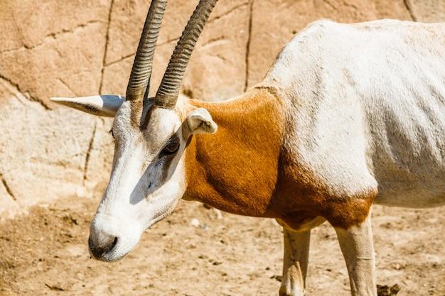 Vue frontale de l'antilope impala dans la réserve nationale