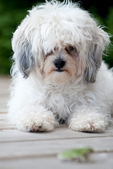 Vue frontale d'un chien zuchon blanc