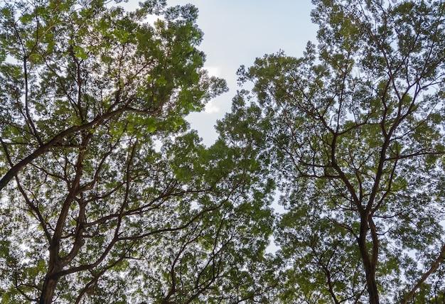 La vue en grand angle de la canopée dans le parc forestier avec le ciel bleu clair, pour se détendre le week-end, vue en grand angle avec l'espace de copie.