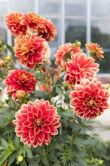 Vue grand angle du buisson à fleurs de dahlia rouge. dahlias en fleurs. fleurs automnales.