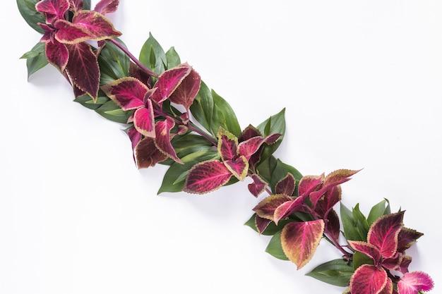 Vue grand angle de feuilles roses et vertes sur fond blanc