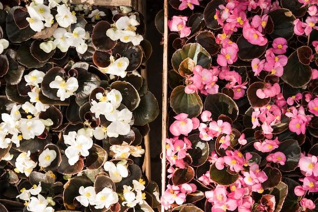 Vue grand angle de fleurs blanches et roses en fleurs