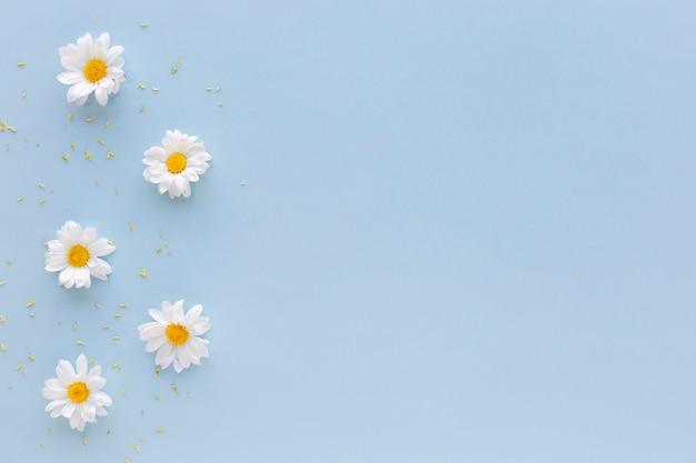 Vue grand angle de fleurs de marguerite blanche et de pollen disposés sur fond bleu