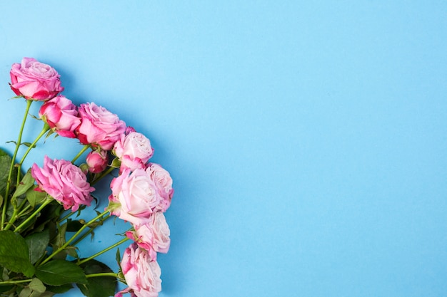 Vue grand angle de roses roses sur fond bleu