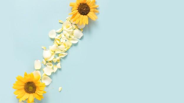Vue grand angle de tournesols jaunes et pétales sur fond bleu