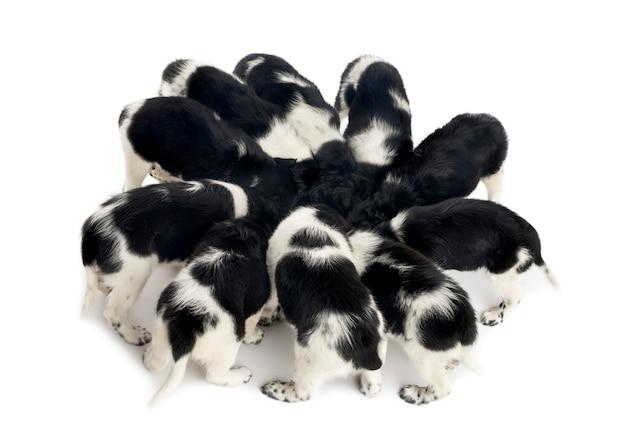 Vue d'en haut de chiots stabyhoun manger ensemble isolé sur blanc