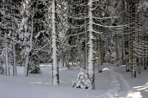 Vue d'hiver dans une forêt de montagne des carpates