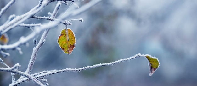 Vue hivernale pittoresque avec des feuilles couvertes de givre sur un pommier sur fond flou