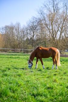 Vue imprenable sur un beau cheval brun mangeant une herbe