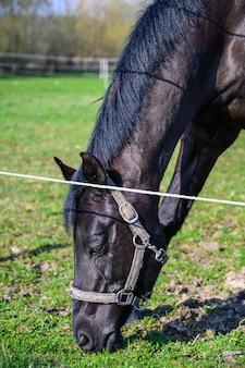 Vue imprenable sur un beau cheval noir mangeant une herbe