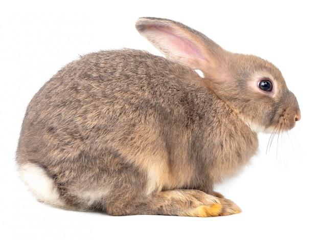 Vue intérieure du gris jeune lapin mignon isolé sur blanc.