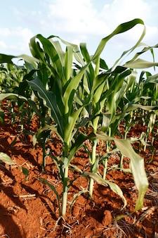 Vue large de la plantation de maïs en croissance