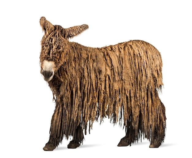Vue latérale d'un âne du poitou avec un manteau rasta isolated on white