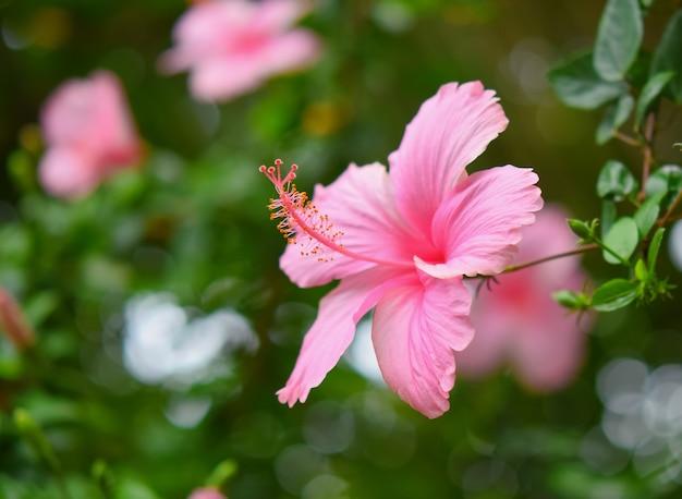 Vue latérale de la belle fleur d'hibiscus