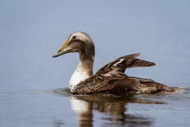 Vue latérale d'un canard eider à duvet nageant dans un petit étang