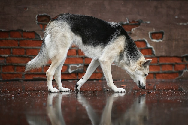 Vue latérale d'un chien de berger errant reniflant une route goudronnée humide à la recherche de nourriture en marchant dans la rue