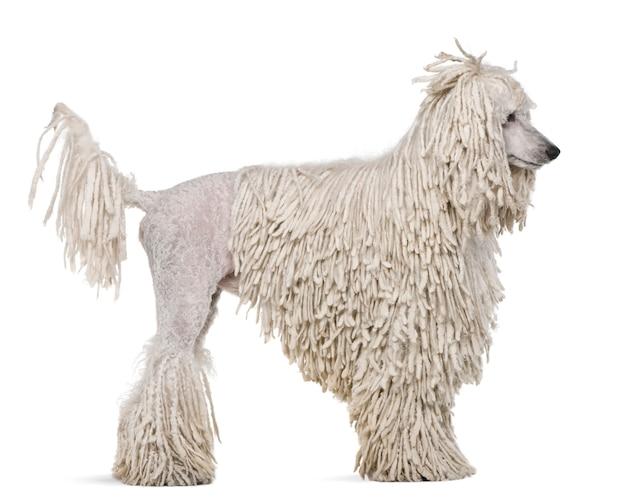 Vue latérale du caniche standard avec fil blanc. portrait de chien isolé