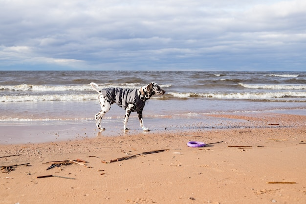 Vue latérale du chien dalmatien marchant dans l'eau, lac portant un manteau de chien sur une froide journée d'automne