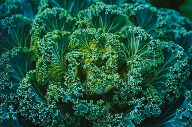 Vue latérale du chou décoratif vert ressemblant à une grande fleur surnaturelle