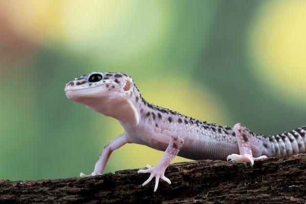 Vue latérale du gecko léopard sur bois